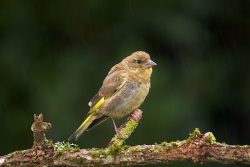 Greenfinch photographed at Les Caches on 17/9/2006. Photo: © Barry Wells