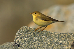 Willow Warbler photographed at Fort le Crocq on 30/8/2008. Photo: © Steve Levrier