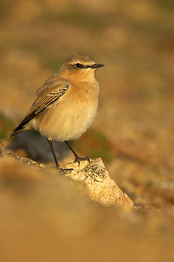 Wheatear photographed at Pleinmont on 15/9/2008. Photo: © Steve Levrier