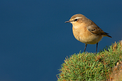 Wheatear photographed at Pleinmont on 30/8/2008. Photo: © Steve Levrier