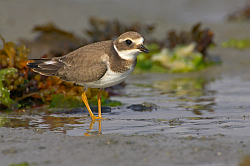 Ringed Plover photographed at Fort le Crocq on 14/9/2008. Photo: © Steve Levrier