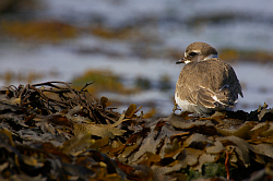 Ringed Plover photographed at Fort le Crocq on 12/9/2008. Photo: © Steve Levrier