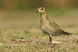 Golden Plover photographed at Pleinmont on 28/9/2008. Photo: © Steve Levrier
