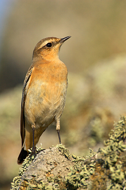 Wheatear photographed at Pleinmont on 28/9/2008. Photo: © Steve Levrier