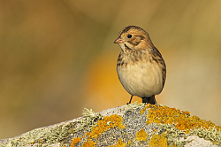 Lapland Bunting photographed at Pulias on 12/10/2008. Photo: © Steve Levrier