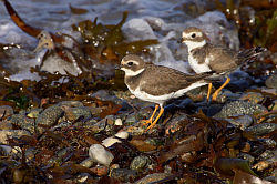 Ringed Plover. Photo: © Steve Levrier
