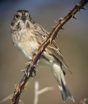 Lapland Bunting photographed at Pulias on 11/10/2008. Photo: © Mark Guppy