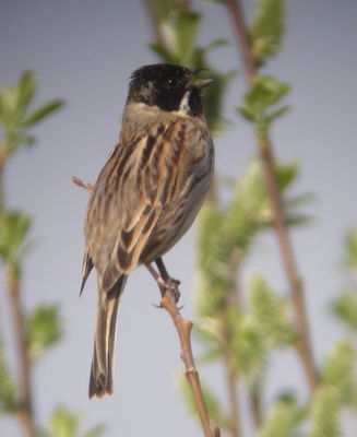 Reed Bunting photographed at Grands Marais / Pr� on 13/4/2009. Photo: © Mark Guppy