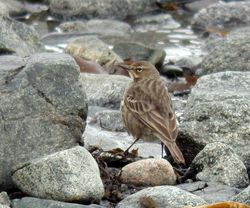 Rock Pipit photographed at Fort Le Crocq on 4/3/2009. Photo: © Mark Lawlor