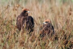 Marsh Harrier photographed at Claire Mare on 23/7/2009. Photo: © Paul Hillion
