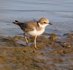 Little Ringed Plover photographed at Claire Mare on 7/8/2009. Photo: © Mike Cunningham