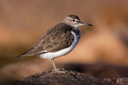 Common Sandpiper photographed at Fort Hommet on 8/9/2009. Photo: © Paul Hillion