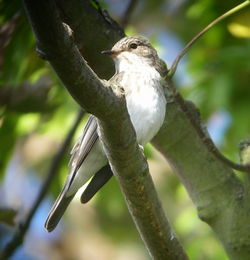 Spotted Flycatcher photographed at Mount Row, SPP on 12/9/2009. Photo: © Mark Guppy