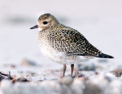 Golden Plover photographed at Les Ammarreurs on 19/10/2009. Photo: © Phil Alexander