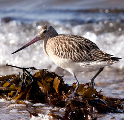 Bar-tailed Godwit photographed at Grandes Havres on 1/10/2009. Photo: © Phil Alexander