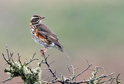 Redwing photographed at Pleinmont on 28/10/2009. Photo: © Paul Hillion