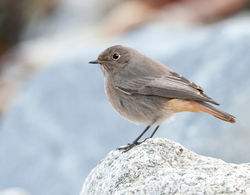 Black Redstart photographed at Shingle Bank on 28/11/2009. Photo: © Phil Alexander