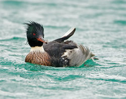 Red-breasted Merganser photographed at St Peter Port Harbour on 28/11/2009. Photo: © Barry Wells
