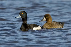 Tufted Duck photographed at Grande Mare on 6/12/2009. Photo: © Paul Hillion