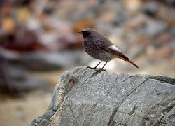 Black Redstart photographed at Pulias on 9/12/2009. Photo: © Mark Lawlor