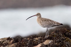 Curlew photographed at Perelle on 15/11/2009. Photo: © Paul Hillion