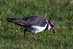 Lapwing photographed at Colin Best NR on 20/12/2009. Photo: © Phil Alexander