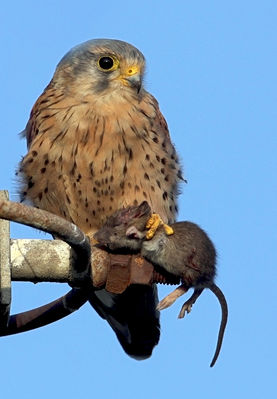 Kestrel. Photo: © Chris Bale