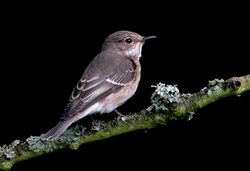 Spotted Flycatcher photographed at Saumarez Park on 15/9/2009. Photo: © Chris Bale