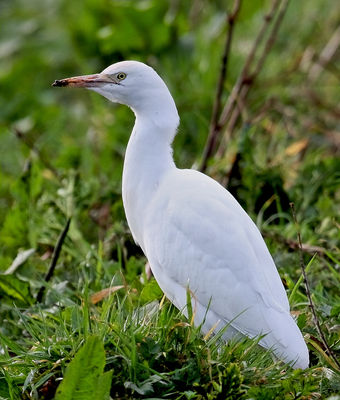 Cattle Egret. Photo: © Chris Bale