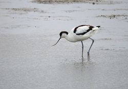 Avocet photographed at Old Aerodrome on 7/1/2010. Photo: © Mark Lawlor