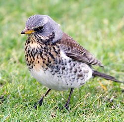 Fieldfare photographed at L\'Ancresse [LAN] on 9/1/2010. Photo: © Phil Alexander