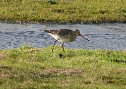 Black-tailed Godwit photographed at Old Aerodrome [OLD] on 9/1/2010. Photo: © Rod Ferbrache