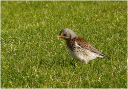 Fieldfare. Photo: © Tony Grange