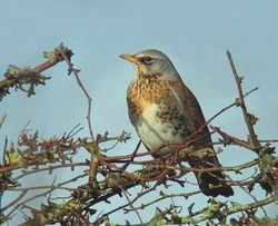 Fieldfare photographed at Rue du Marais, CAT [MA4] on 13/1/2010. Photo: © Mark Lawlor
