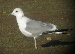 Common Gull photographed at Airport [AIR] on 17/1/2010. Photo: © Mark Guppy