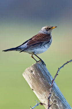 Fieldfare photographed at Claire Mare [CLA] on 17/1/2010. Photo: © Paul Hillion