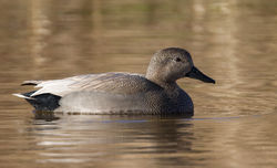 Gadwall photographed at Rue des Bergers [BER] on 17/1/2010. Photo: © Phil Alexander