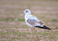 Common Gull photographed at Airport [AIR] on 24/1/2010. Photo: © Barry Wells