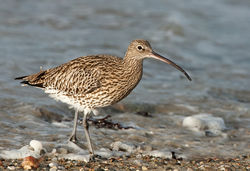 Curlew photographed at Les Amarreurs [AMM] on 3/2/2010. Photo: © Barry Wells