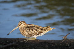 Snipe photographed at Le Grand Pre on 5/2/2010. Photo: © Mike Cunningham