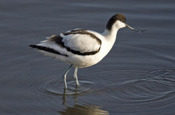 Avocet photographed at Vale Pond [VAL] on 13/1/2010. Photo: © Mike Cunningham