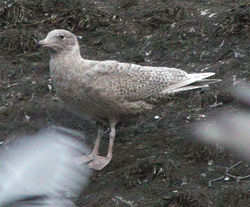 Glaucous Gull photographed at Mont Cuet [CUE] on 13/2/2010. Photo: © Paul Veron