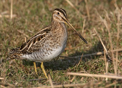 Snipe photographed at Claire Mare [CLA] on 16/2/2010. Photo: © Chris Bale