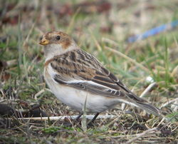 Snow Bunting photographed at Bulwer Avenue [BUL] on 21/2/2010. Photo: © Mark Guppy