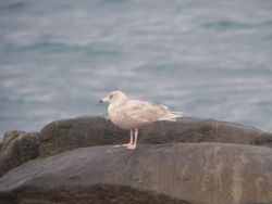 Glaucous Gull photographed at Mont Cuet [CUE] on 21/2/2010. Photo: © Mark Guppy