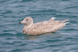 Glaucous Gull photographed at Baie de la Jaonneuse on 21/2/2010. Photo: © Phil Alexander