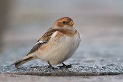 Snow Bunting photographed at Belgreve Bay [BEL] on 21/2/2010. Photo: © Phil Alexander