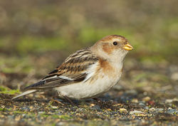 Snow Bunting photographed at Belle Greve Bay [BEL] on 21/2/2010. Photo: © Barry Wells