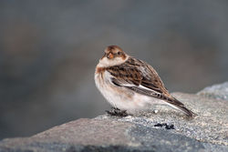 Snow Bunting photographed at Belle Greve Bay [BEL] on 22/2/2010. Photo: © Rod Ferbrache