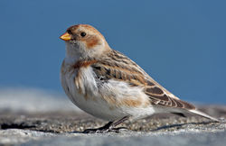 Snow Bunting photographed at Belle Greve Bay [BEL] on 23/2/2010. Photo: © Chris Bale
